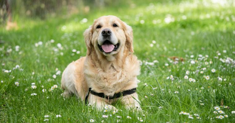 大型犬の種類とは? 大型犬の基準や人気犬種について紹介します