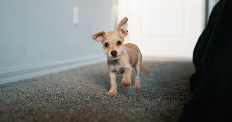 愛玩犬はかわいそう? 愛玩犬の意味や犬種、歴史について紹介