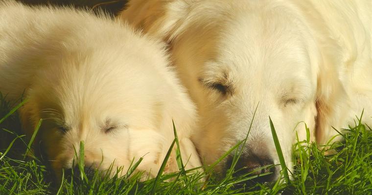 繁殖引退犬の迎えるために。里親になる準備からしつけ方、注意点まで【プロが解説】