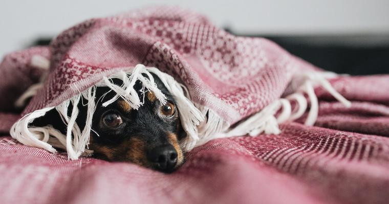 犬の顔や体が腫れているときに考えられる原因を獣医師が解説