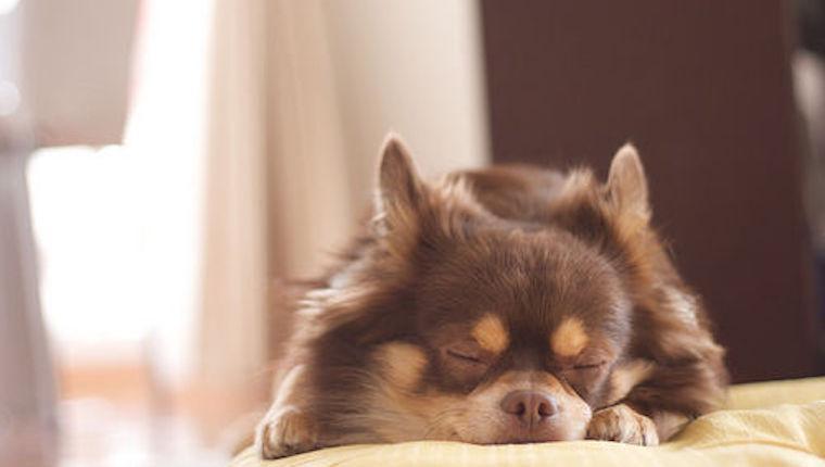 犬が尿漏れ・失禁した場合に考えられる原因や対処法を獣医師が解説