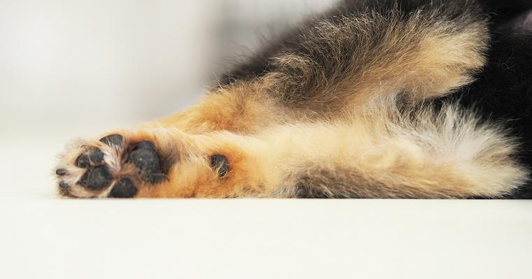 犬の肉球がザラザラしているのはなぜ? やけどや乾燥などではがれることも......