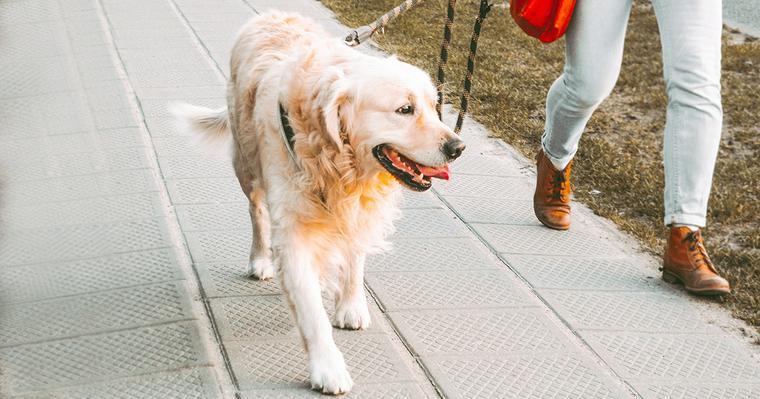 ゴールデンレトリーバーの飼い方|性格や毛色の違い、迎え方を紹介