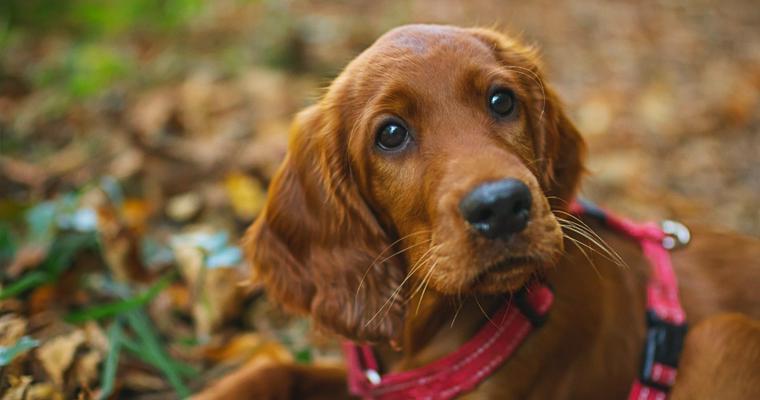 セッターと呼ばれる犬種とは? 歴史と役割、その性格を紹介