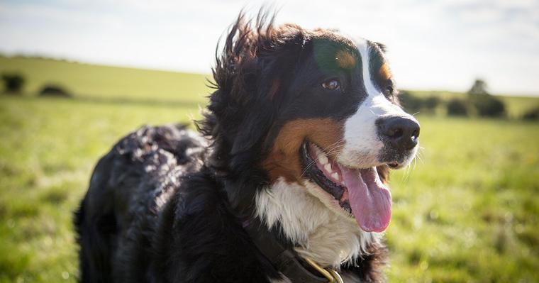 バーニーズマウンテンドッグの飼い方|性格や寿命、子犬の頃の様子やかかりやすい病気について
