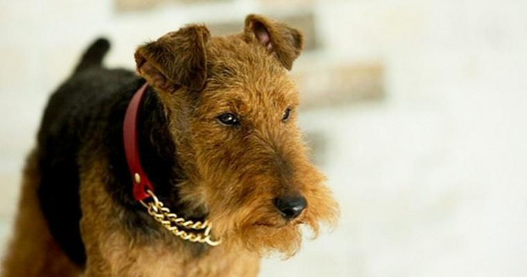 テリアってどんな犬? 名前の意味や性格、代表種を紹介