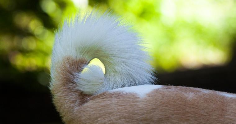 犬がしっぽを追いかける理由とは? 病気の可能性や噛みちぎってしまう恐れも