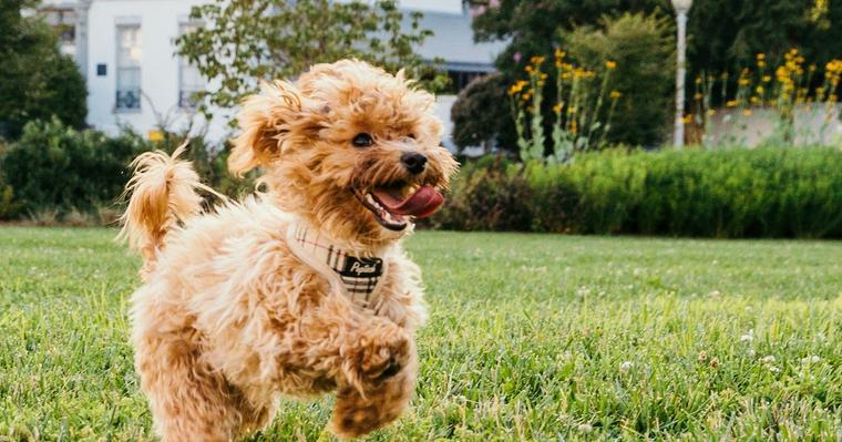 犬の胃捻転は大型犬がなりやすい? 症状や原因、予防法を獣医師が解説