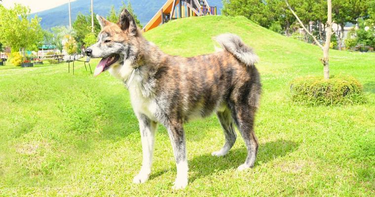 天然記念物の日本犬は6種類! それぞれの毛色や性格、特徴などを紹介!