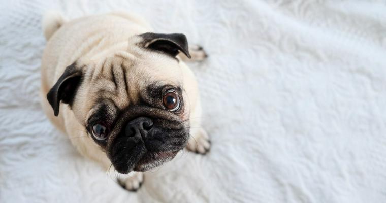 アジア原産の犬種まとめ あなたの愛犬の出身はどこ?