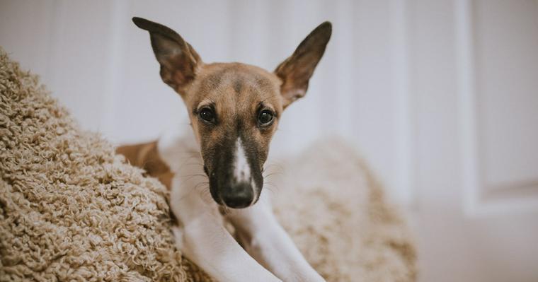 犬の外耳炎とは? 原因や治療方法、繰り返す場合を皮膚科獣医師が解説