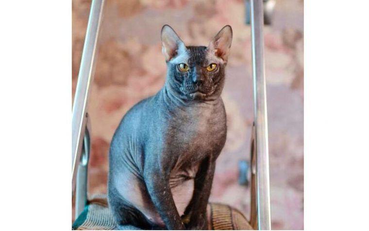 ドンスコイの飼い方|スフィンクス猫との違いや性格、歴史など