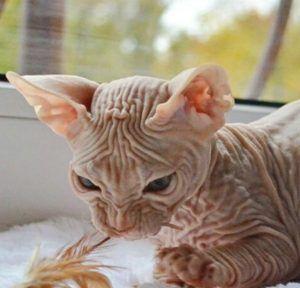 スフィンクス 猫 性格