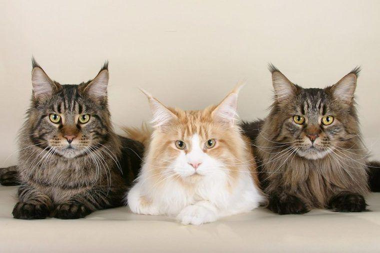 猫の長毛種にはある共通点が!? 代表的な種類とその魅力、お手入れの方法を紹介
