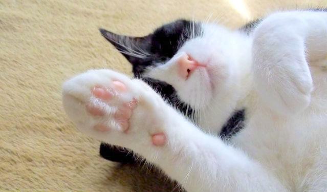 猫の肉球の秘密! 何のためにある? 匂いの役割やケアの方法も解説