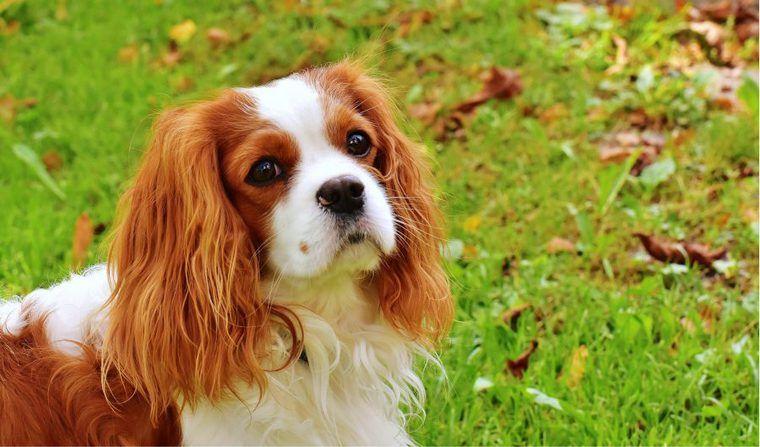 犬の僧帽弁閉鎖不全症の症状やステージ、手術・治療法など認定医が解説