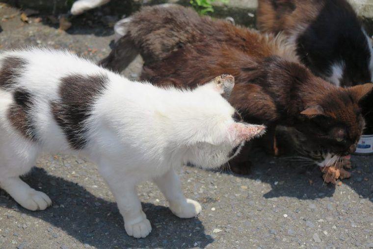 猫の「かさぶた」ができる原因と考えられる病気【皮膚科認定医が解説】