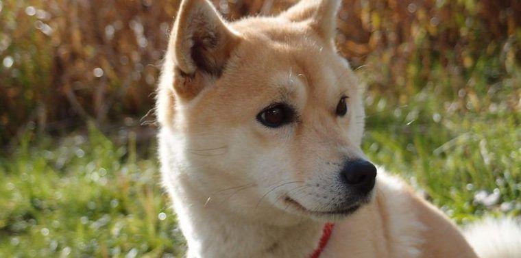 豆柴の飼い方|性格、黒や白など毛色の特徴、成犬時の体重など