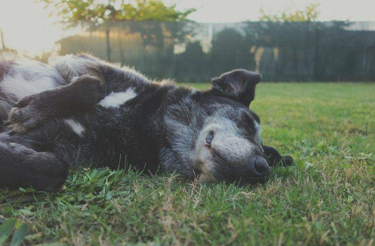 犬の老衰 老化のサインや症状は 対応策や安楽死の考え方を獣医が