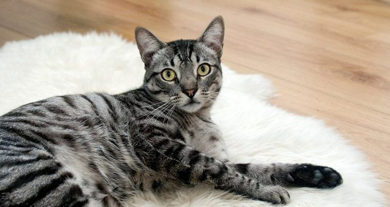 猫の膿胸 | 症状や原因、治療・予防法など【循環器認定医が解説】