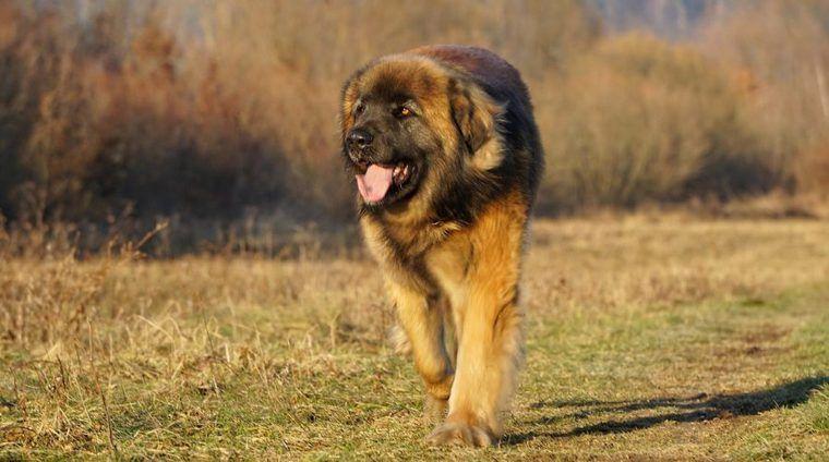 レオンベルガーの飼い方|性格や大きさ、寿命、かかりやすい病気など