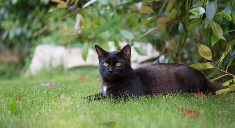 ボンベイ猫の飼い方|黒豹のミニバージョン? 性格や特徴について紹介