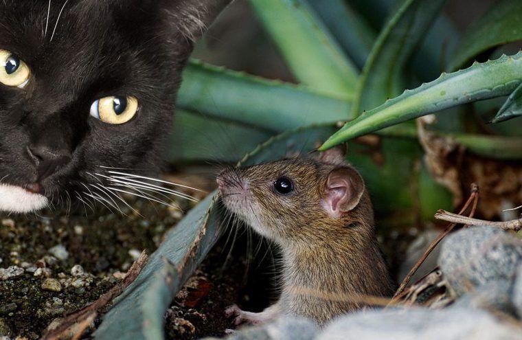 猫とネズミは仲良し? 猫がネズミを抱きしめる動画や捕まえて持ってくる理由を紹介