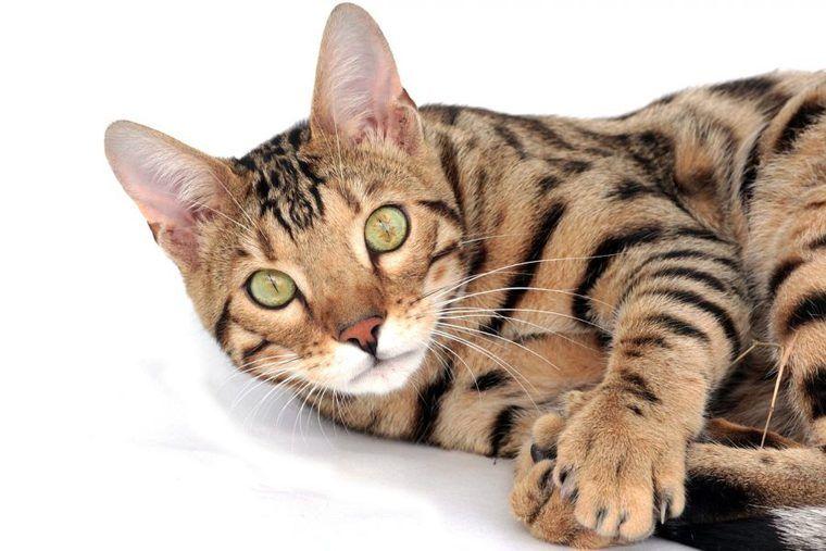 トイガーの飼い方|トラの血が入っているの? 性格や特徴について紹介