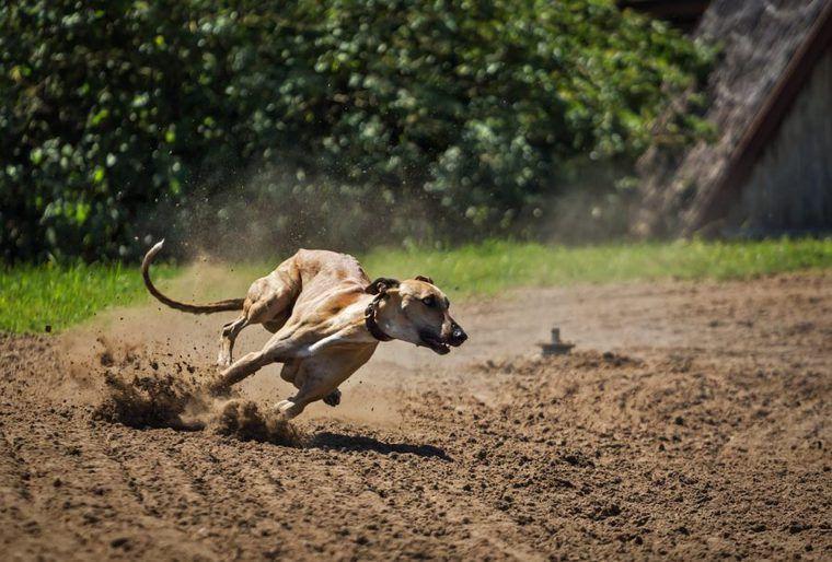 グレーハウンドの飼い方 世界最速の犬種! 人を魅了するその性格とは?