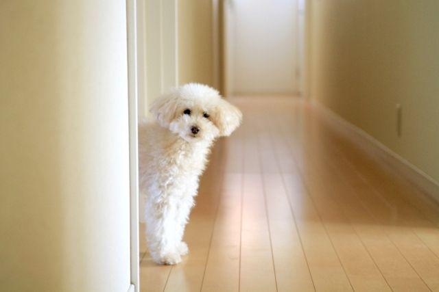 犬の膀胱炎の症状や原因、クランベリーのサプリメントについて獣医師が解説