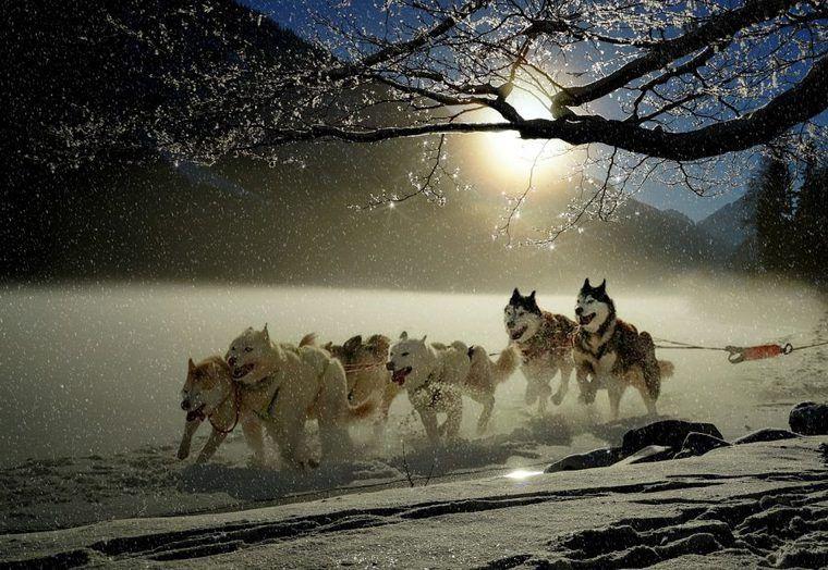 犬ぞりの歴史や犬種、役割は? 迫力の犬ぞりレースの動画も